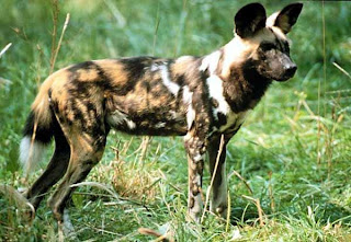african painted dog in green grass