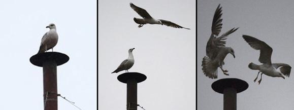 Papa francesco libera due colombe un corvo e un gabbiano for Due esse arredamenti settimo san pietro