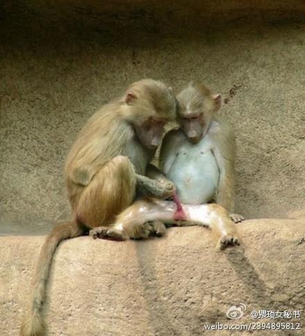 Funny Monkey play genitalia - two monkeys doing?
