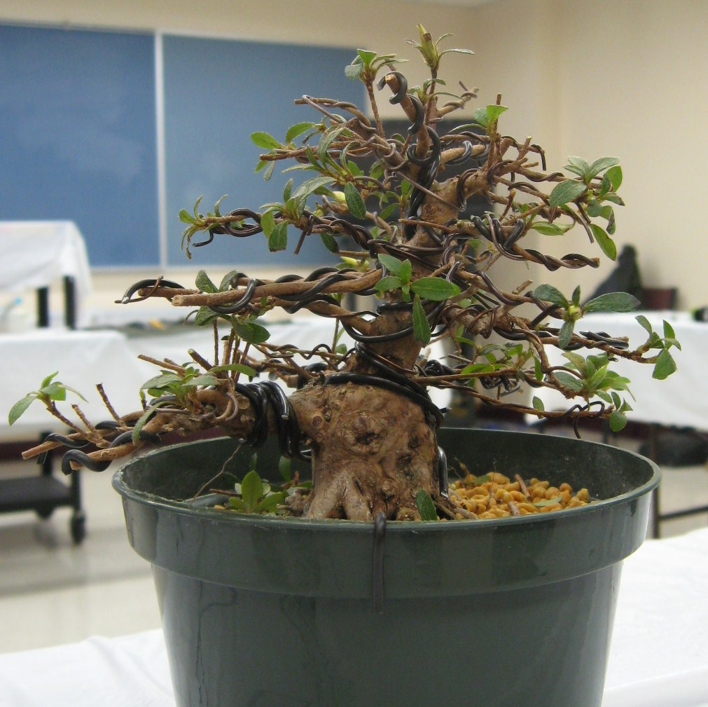 Bonsai Beginnings May 2011