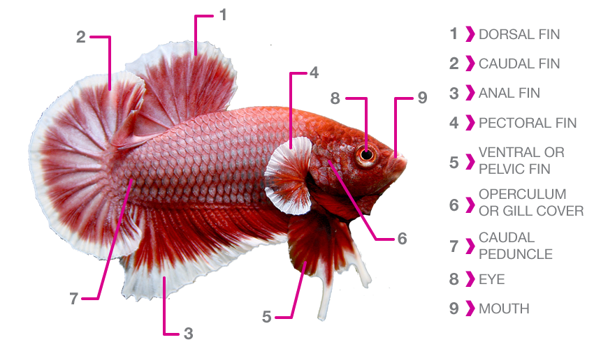 SgBettaCube™: Betta Gender / Anatomy
