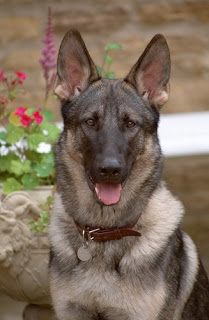 Foto anjing GERMAN SHEPHERDS