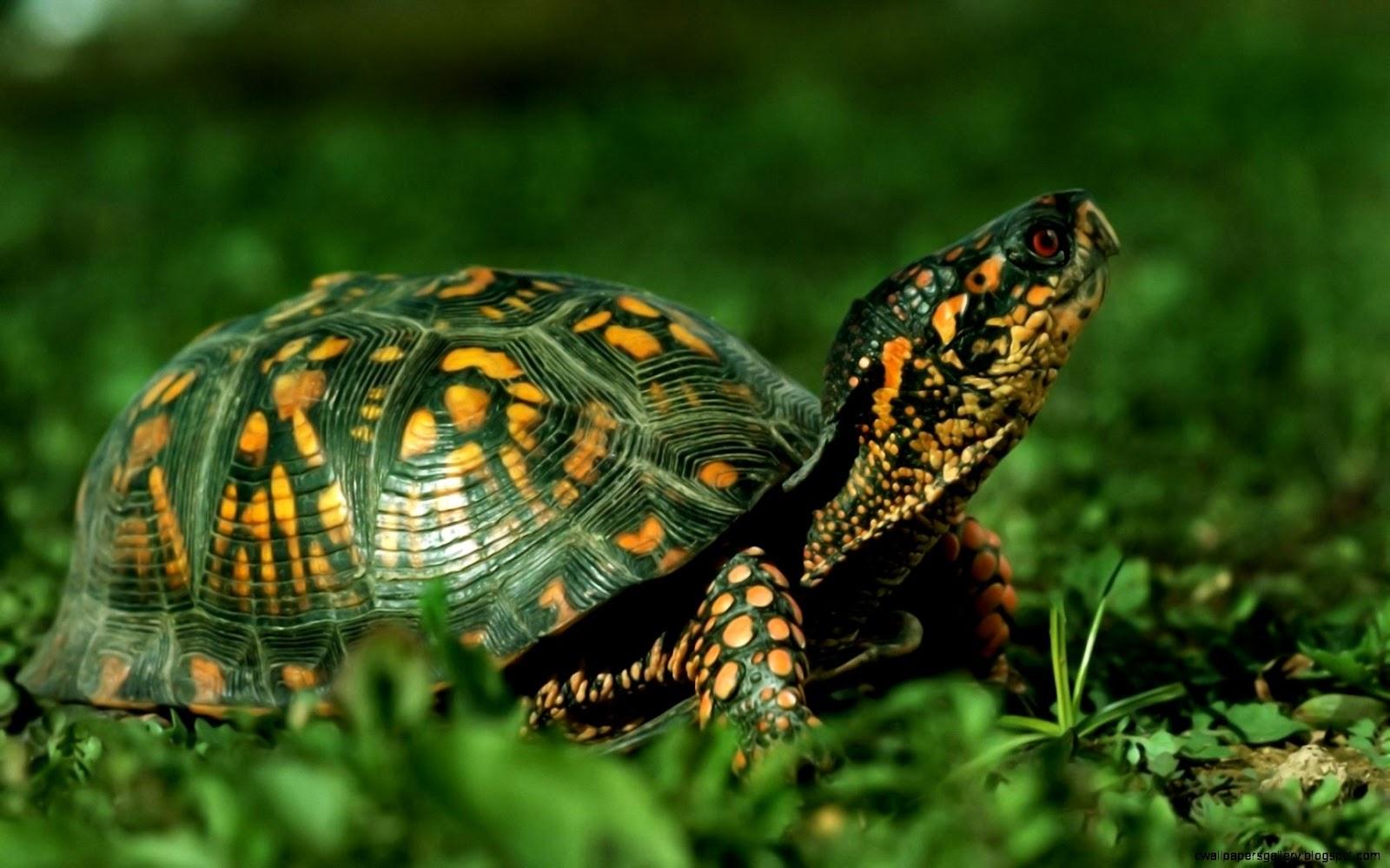 Turtles Reptiles Animals