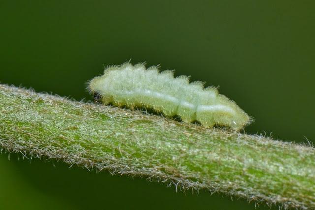 Azure Butterfly Caterpillar