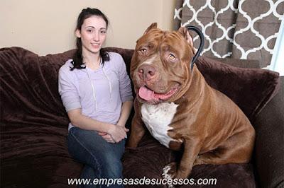 O maior e mais pesado Pitbull do mundo