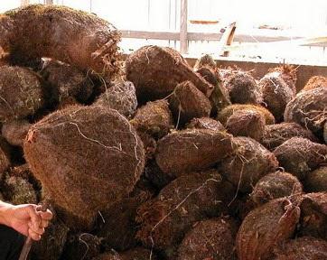 Sarang Semut, Tanaman Obat untuk Beberapa Kanker