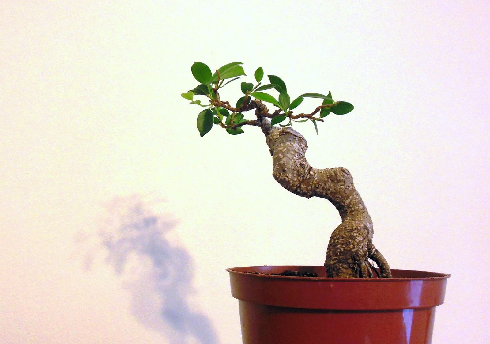 Laser Beam Bonsai Strange Little Ficus Bonsai