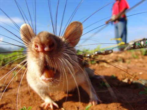 rats démineurs hero rats rats géant de gambie
