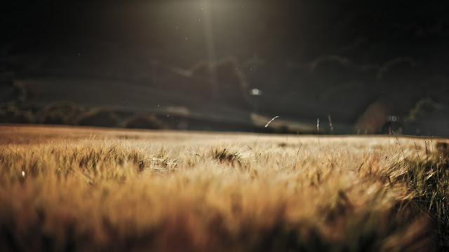 Wheat field sunlight HD Wallpaper