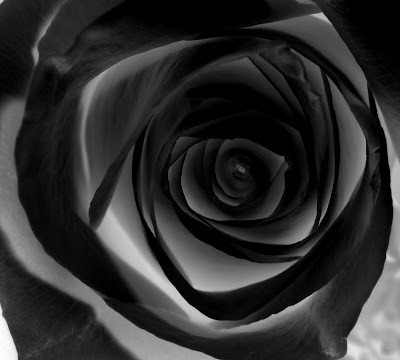 amazin-black-rose