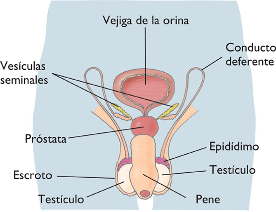 BIOLOGIA 6º DE SECUNDARIA: APARATO REPRODUCTOR MASCULINO