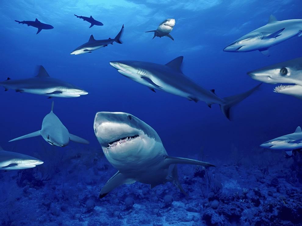 اسماك القرش تحت الماء Shark-shark-shark-sh