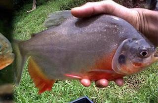 http://habinos.blogspot.co.id/2015/08/resep-umpan-mancing-ikan-bawal-harian.html