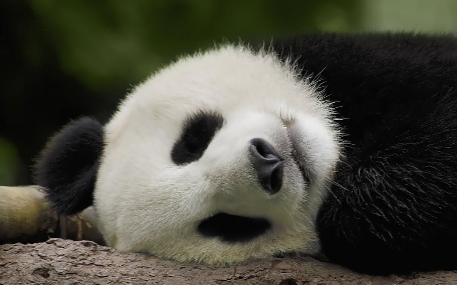 Panda Quotes Panda Wallpapers  Quotes Blogs