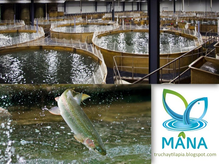 Asesor a trucha y tilapia como criar peces en estanques for Peces que se cultivan en estanques en panama