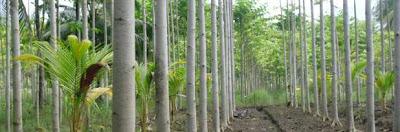 Dengan pohon jabon peluang usaha investasi menguntungkan