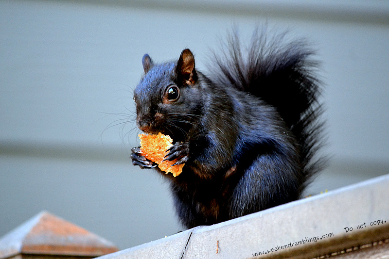 friendly common black squirrel eating cookies biscuits neighborhood gardens homes california animals photos blogging