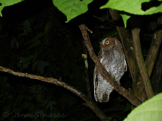 Vermiculated Screech-Owl