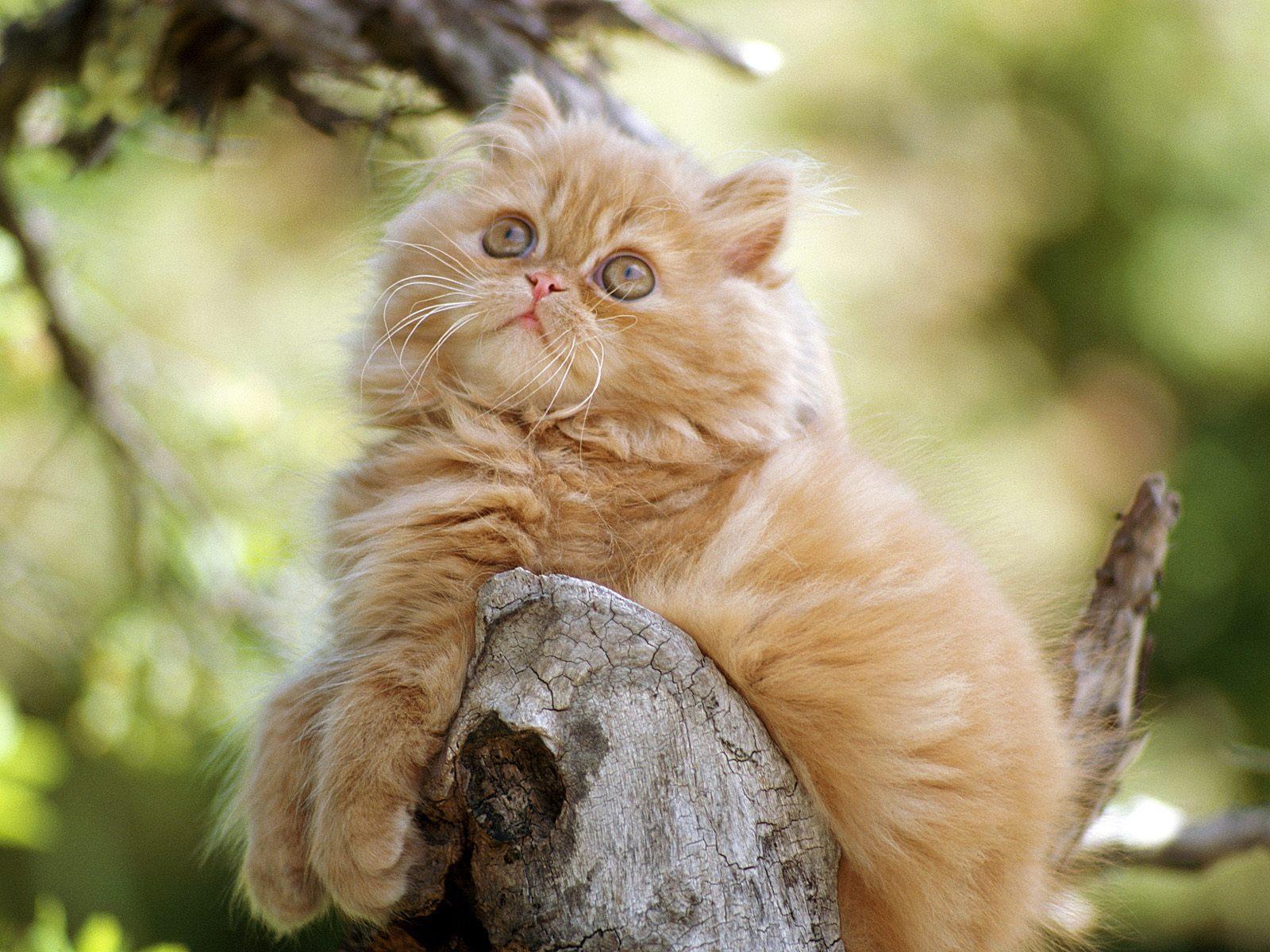 Orange Persian Cat wallpaper background