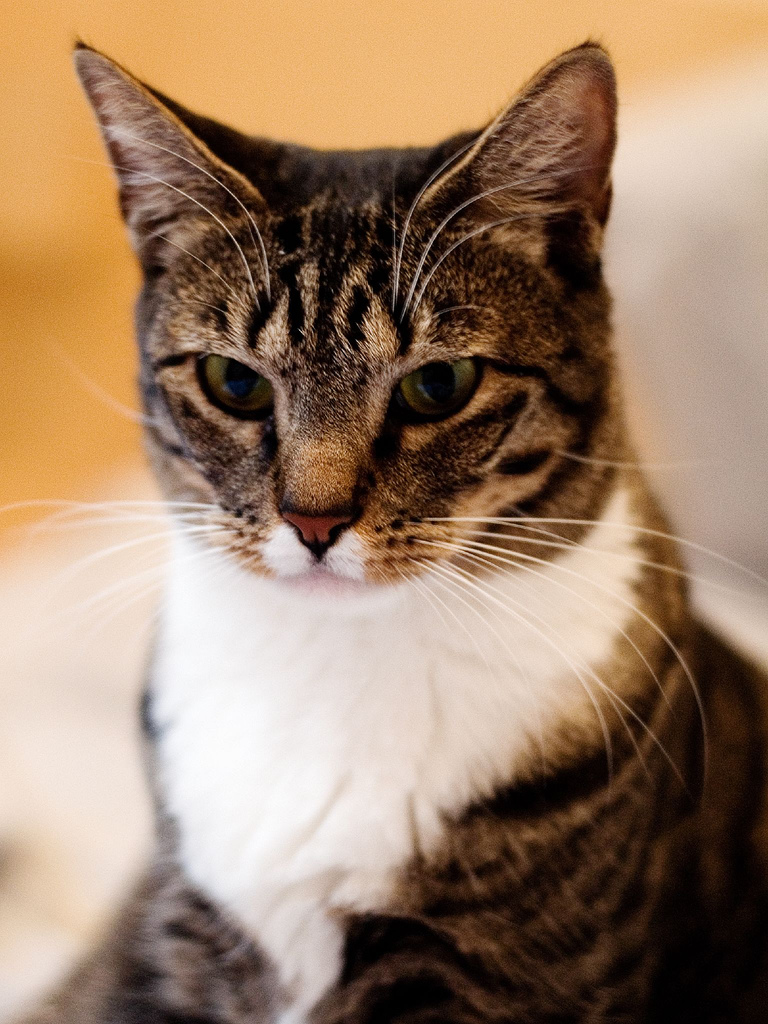 Life expectancy of american shorthair cat