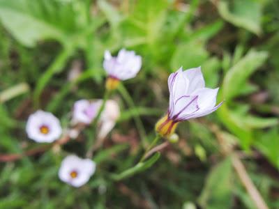 庭石菖(ニワゼキショウ/Annual Blue Eyed Grass)