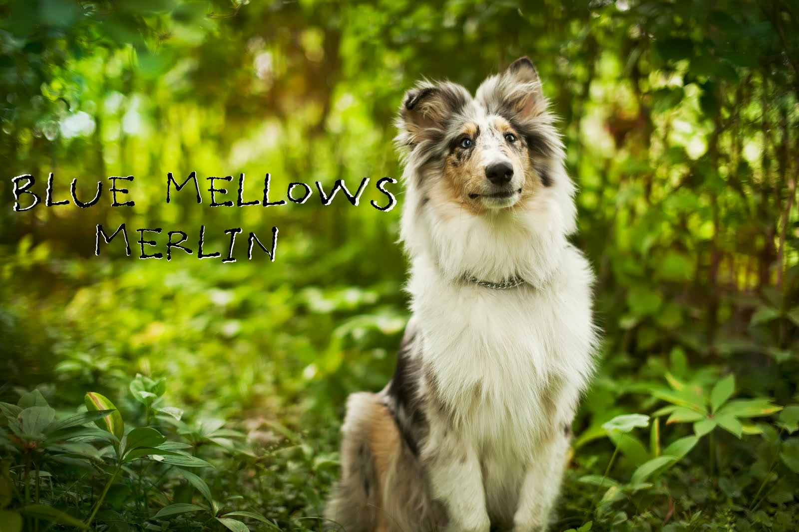 Blue Mellow's Merlin