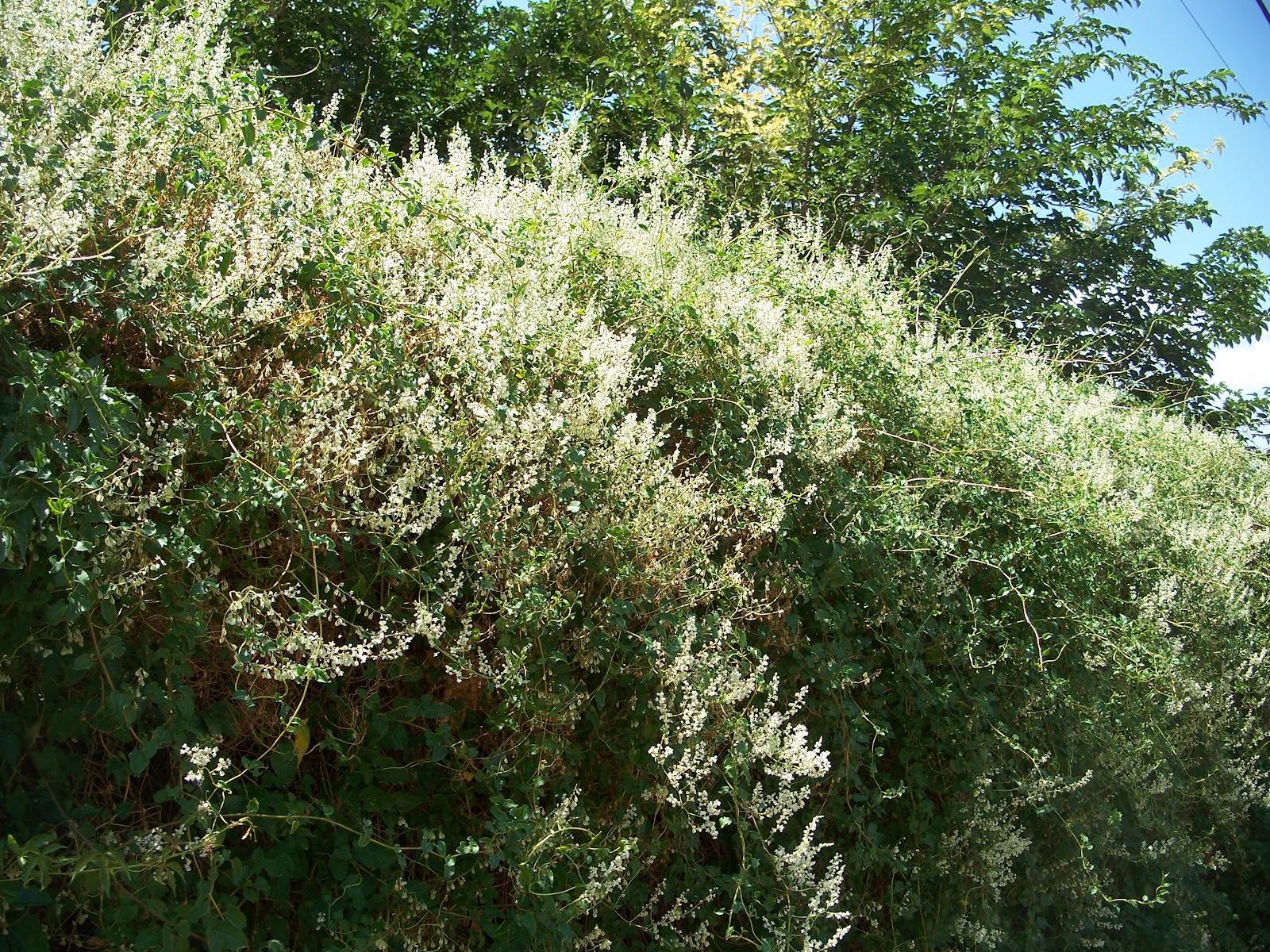 Trees That Please Nursery Silver Lace Vine
