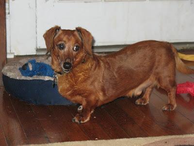 suspicious dachshund