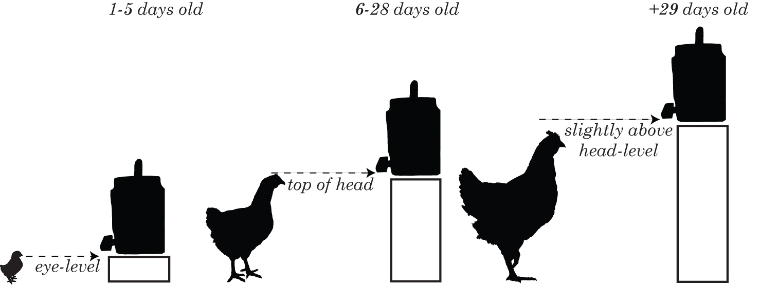 chicken waterer  the correct height for poultry nipple