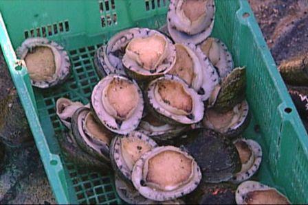 siput abalone