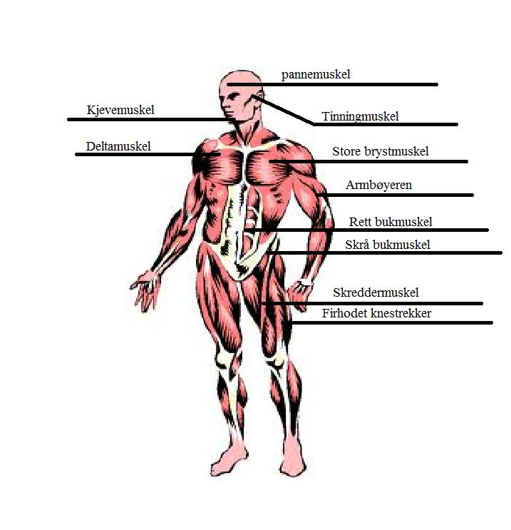 navn på muskler i kroppen homofilx