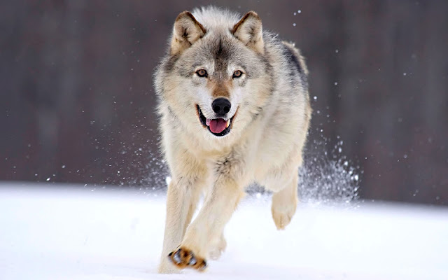 Grey Wolf Running In The Snow Wallpaper