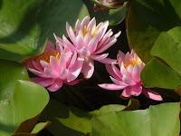 可愛いピンク色のスイレンの花。