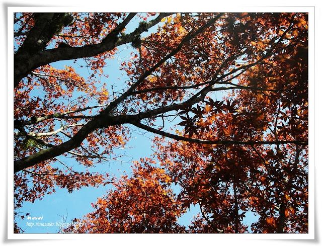 宜蘭太平山國家森林遊樂區-楓葉1