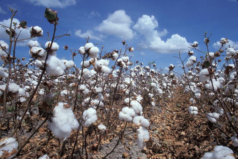 de entre todas las fibras naturales sobresale el algodn por la facilidad con se puede trabajar e hilar y sus magnficas propiedades