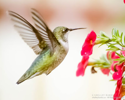 Young Ruby-throated Hummingbird feeding from petunias. ©  Shelley Banks, all rights reserved. (ShelleyBanks.ca)