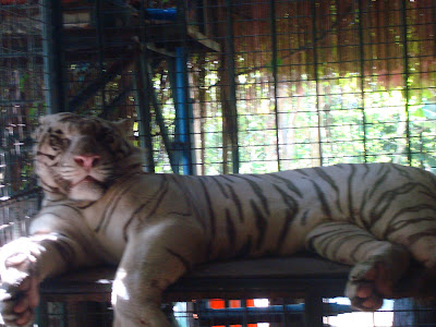 albino tiger in Zoobic Safari