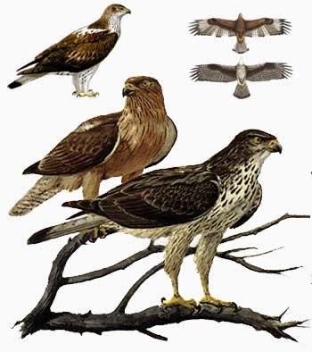 águilas perdiceras