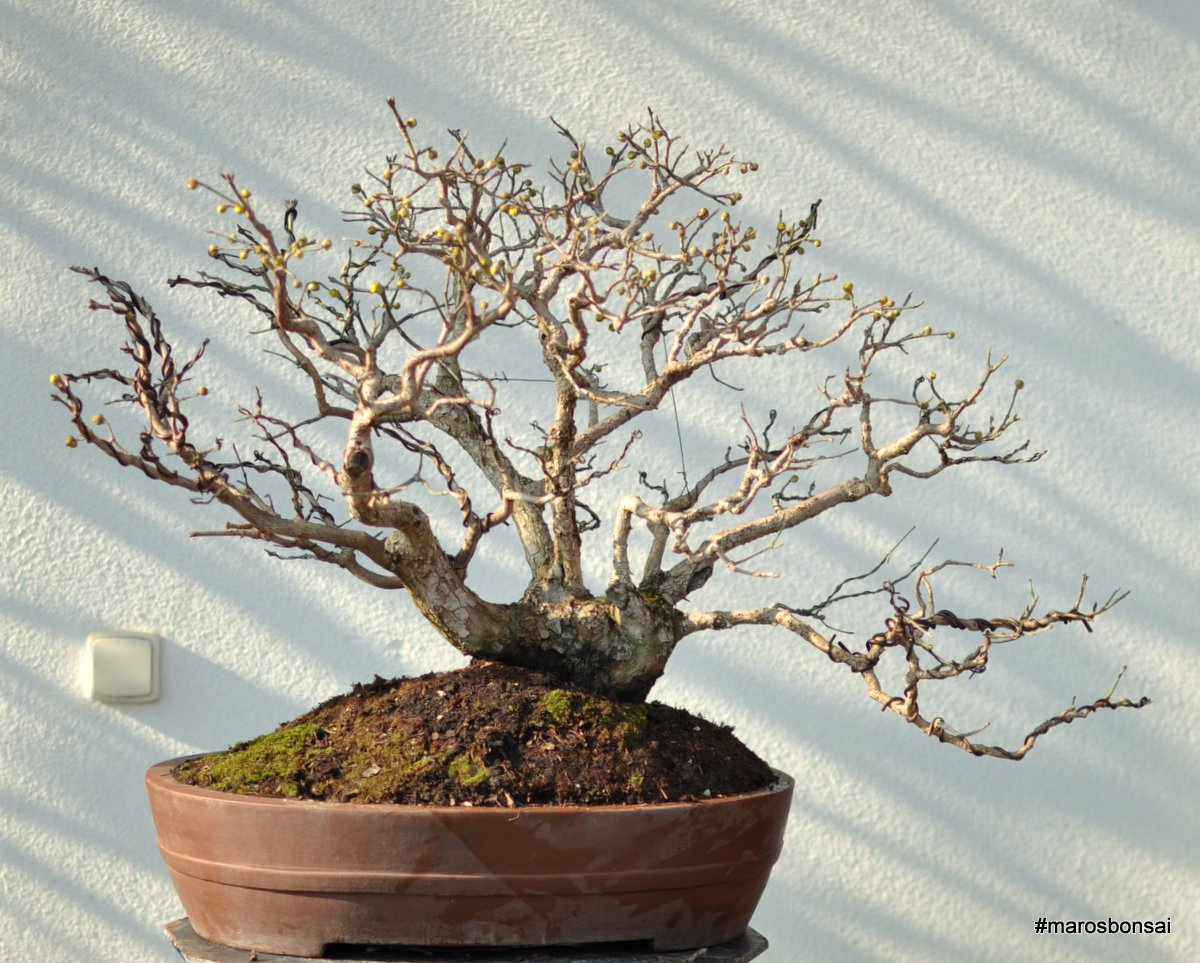 Maros Bonsai Blog Story Of My Bonsai Tree Cornus Mas No1 QuotVesnaquot