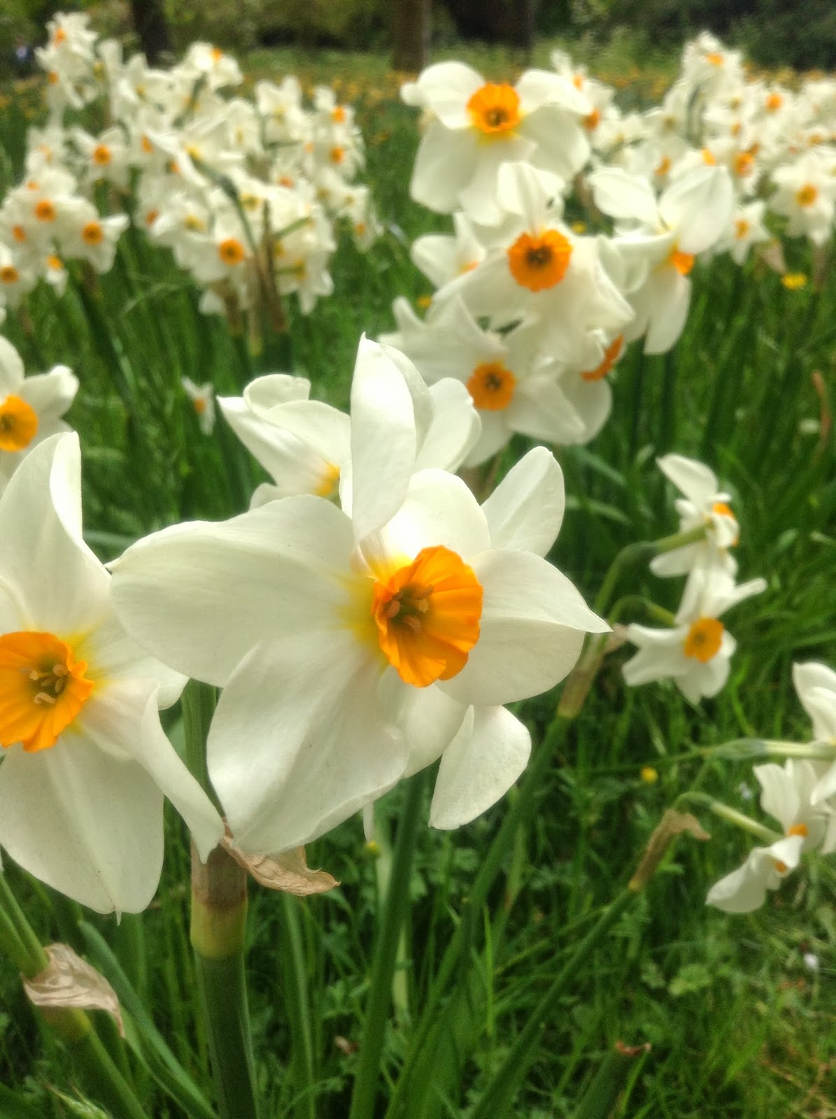 White daffodils in the Wilderness, Hampton Court Gardens, Photo from Mercurelli's Garden Design