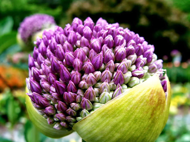 Onion Flower Buds ~ Photo by ChatterBlossom