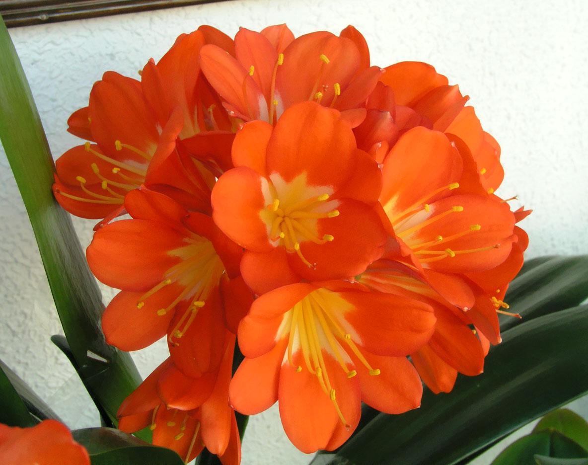 Super Plantas e Flores: Clivia MB75