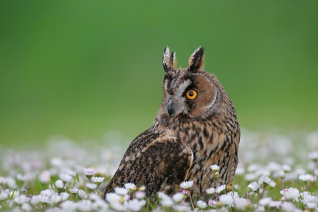 7. Photograph Long-eared Owl by David Featherbe