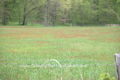 cover crop, red clover
