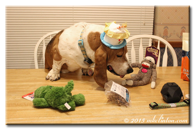 Bentley Basset looking at his sock monkey