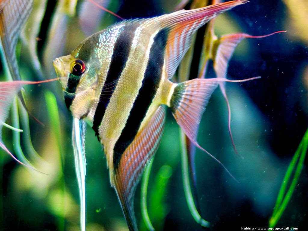 Pterophyllum altum (AngelFish) Aquascaping - Peru