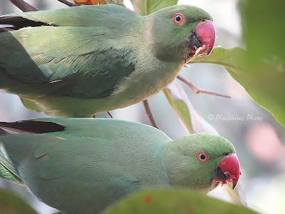Rose Ringed Parakeets