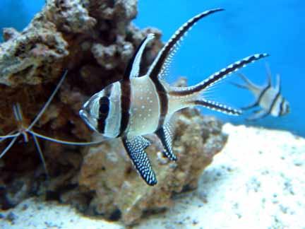 banggai cardinalfish - photo #39