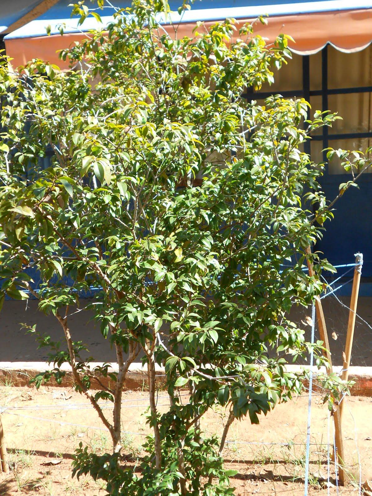 Jaboticabeira (o nosso pézinho de jaboticaba cresceu!)