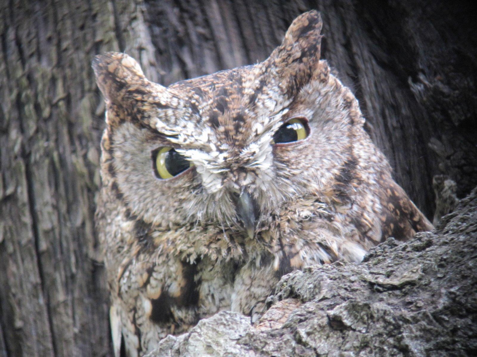 Andy Frank: Western Screech-Owl